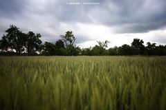 Cornfield (Johann Winterholler Fotografie) Tags: trees nature weather clouds landscape outside corn cornfield mood natur grain wolken atmosphere drama landschaft atmosphre wetter stimmung kornfeld getreide dramatisch