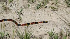 Little Buddy. (rlbarn) Tags: coral snake
