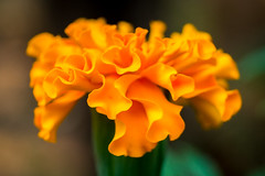 361 - (Gladson777) Tags: orange india blur flower macro beautiful petals colorful bokeh patterns sony shapes fresh maharashtra 1855 alpha mumbai marigold slt tagetes konkan a58 55200 vasai phool malvan achara genda