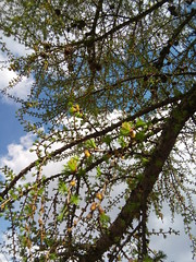 20160424_153135 (g0d4ather) Tags: wood nature daylight spring branch larch