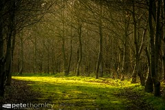 The Only Way (Pete Thornley) Tags: trees light woodland golden woods branches tunnel lincolnshire plantation trunks sunlit streaks
