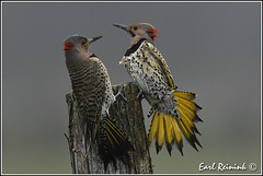 Northern Flicker (Earl Reinink) Tags: ontario woodpecker nikon niagara mating earl flicker northernflicker nikond5 earlreinink reinink oduuruhdra