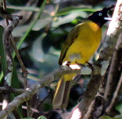 Black-crested Bulbul, Pycnonotus flaviventris (asterisktom) Tags: cambodia february bulbul 2016 senmonorom blackcrestedbulbul pycnonotusflaviventris trip20152016cambodiataiwan