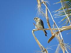 American Kestrel Falcon Grooming-1 (Chic Bee) Tags: arizona hawk bluesky grooming talons americansouthwest burstmode myfrontyard southwesternusa washingtonpalm sooc 908am centraltucson canonsx60hs