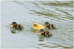 4 kleine eendjes (HP009282) (Hetwie) Tags: bird nature duck nederland natuur chicks mallard vogel vijver noordbrabant helmond wildeeend watervogel wijkpark brouwhuis eendjeskuiken