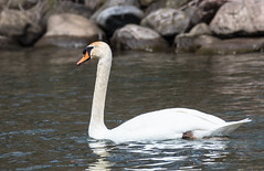 Gracing the water again (Pictures ilike) Tags: muteswan