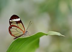greta  oto y buena compaia.. :):) (ALQVIMIA) Tags: madrid butterfly de los san sebastian gracias papillon bonita greta reyes alcobendas oto bolboreta nymphalidae mariposeando espejitos alasdecristal