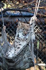 Kyrill in a hammock (Cloudtail the Snow Leopard) Tags: male cat zoo feline katze karlsruhe hngematte kyrill luchs pinselohr