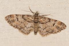 double-striped pug (postcardcv) Tags: macro canon eos moth pug double m3 striped mpe65