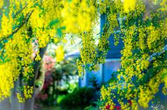 Golden Chain  (T.ye) Tags: flowers light plant tree field outside golden blurry bokeh outdoor deep chain todd ye cassia fistula