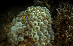 Anemone fish (stuartgibbons95) Tags: ocean sea fish green underwater redsea anemone inon
