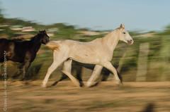 _DSC8797 (Izaias Lus) Tags: brasil caballos photography photographie cavalos equestrian equine nordeste chevaux equino haras equestre garanhunspe