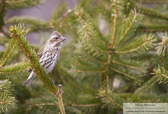 Purple finch (eric marceau) Tags: wild canada bird animal spring purple quebec wildlife finch cap tourmente
