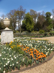 Daffodils and Tulips in the Rose Garden, Ragley Hall, Warwickshire, 30 April 2016 (AndrewDixon2812) Tags: rose garden hall daffodil tulip arrow warwickshire hertford stratford wallflower ragley alcester