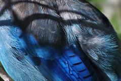 (splinx1) Tags: blue abstract texture feather plumage stellersjay cyanocittastelleri cyanocitta stelleri pentaxart