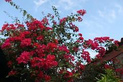 IMG_1051.CR2 (dernst) Tags: trinitarias bougainvilleas