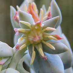 Echeveria runyonii 'Topsy Turvy' (Succulents Love by Pasquale Ruocco (stabiae)) Tags: mexico succulent crassulaceae succulents topsyturvy messico echeveria stabiae piantegrasse succulente runyonii cactusco pasqualeruocco succulentslove forumcactusco