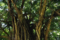 Banyan, irgendwo an der Straße; Bali Indonesien (6) (Chironius) Tags: rosids fabids rosales rosenartige moraceae maulbeergewächse ficus feigen banyanfeige baum bäume tree trees arbre дерево árbol arbres деревья árboles albero árvore ağaç boom träd bali indonesien indonesia landschaft