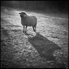 Cold Winter Morning (*altglas*) Tags: formatospaceffff zenzabronica bronica ectl komura23135 mediumformat mittelformat analog film bw 6x6 adoxpan25 schaf sheep schatten shadow gegenlicht winter kälte cold frost