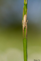 IMG_9911 Yvelines  Tibellus oblongus (fabianvol) Tags: france spider arachnid araa francia araigne arachnida arachnide