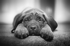 Sad Eyes (IanDMcGregor) Tags: family portrait people dog canada monochrome puppy photography nikon englishmastiff mastiff molly ianmcgregor ianmcgregorphotographycom