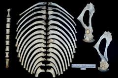 Ribs pelvis sternum (JRochester) Tags: female skeleton grey seal ribs bones pelvis sternum halichoerus grypus