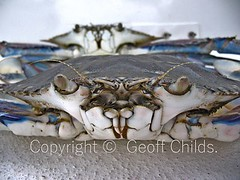 . (sunnypicsoz.com-Geoff Childs.) Tags: food male nature animal closeup eyes raw sandy crab claw meal seafood alive crustacean claws blueys invertebrate sandcrab carapace crabmeat nippers flowercrab blueswimmercrab bluemanna portunuspelagicus liveblueswimmer australianbluecrab liveblueswimmercrab invertibrateanimalshell