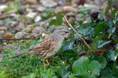 Thse-la-Romaine (Loir-et-Cher) (sybarite48) Tags: france bird pssaro oiseau vogel pjaro uccello  ku ptak loiretcher  accenteur accenteurmouchet   thselaromaine