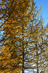 Needles Ready to Drop (pokoroto) Tags: autumn canada tree calgary october drop alberta ready needles 10 2015     kannazuki   themonthwhentherearenogods 27