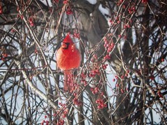 Red (Diana Lynn2) Tags: red nature berries cardinal