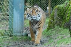 Tiger (jenn2d2) Tags: zoo tiger tacoma pointdefiancezoo
