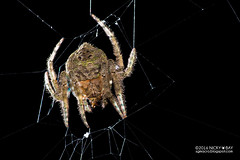 Wrap-around orb weaver (Talthybia sp.) - DSC_2145 (nickybay) Tags: macro upperpeircereservoir singapore araneidae wraparound orb weaver spider backlighting talthybia