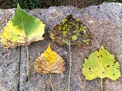 4leaves (Zomarieful) Tags: june