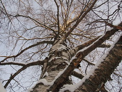 Different angle of a tree (juliatatiana.holmgren) Tags: pictures trees winter nature colors digital outside photo cool europe sverige trd differentview vsterbotten northofsweden olympusdigitalcamera
