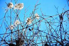 AL VIENTO (diogarcar) Tags: flor invierno exotica alcarria torija