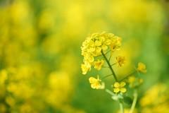 /Brassica rapa var. amplexicaulis (nobuflickr) Tags: flower nature japan kyoto   thekyotobotanicalgarden brassicarapavaramplexicaulis     awesomeblossoms  20160211dsc01040