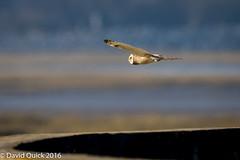 (DavidQuick) Tags: england reserve hampshire seawall marsh wildlifetrust farlington shortearedowl copyrightdavidquick2016