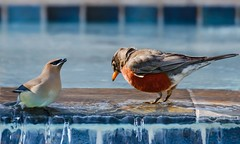 Not Enough Room in this Hot Tub (brev99) Tags: water robin birds reflections tile waxwing d7100 topazdenoise tamron70300vc highqualityanimals dxofilmpack5