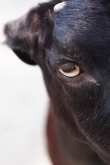 Black Goat (hiroki.N) Tags: eye zoo goat olympus omd dusit em5