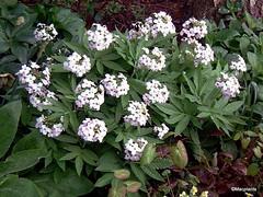 Cardamine heptaphylla 'Alba'