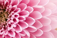 Pink overload (Daniela Duncan) Tags: pink dahlia nature beauty petals