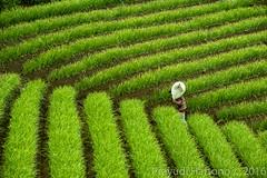 The Lines (Prayudi Hartono) Tags: indonesia harvest onion farmer sack westjava redonion onionfield majalengka jawabarat argapura sackofonion
