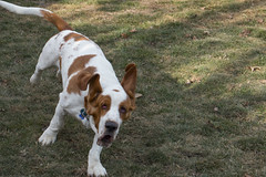 IMG_6114 (BFDfoster_dad) Tags: hound basset