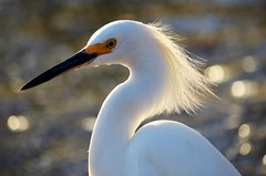 Egret at Sunset (forestforthetress) Tags: light sunset color bird nature water nikon outdoor feathers fowl egret animalplanet omot