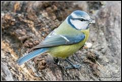 Cinciarella (torben84) Tags: bird nature birds natura niko tamron avifauna pettirosso cinciarella verdone codibugnolo lucherino d7200