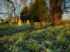 Snowdrop Festival (davepickettphotographer) Tags: uk morning flowers wild church graveyard early spring memorial northamptonshire graves gb snowdrops tombstones northants snowdrop wellingborough johnthebaptist raunds olympuscamera chelveston davepickettphotographer