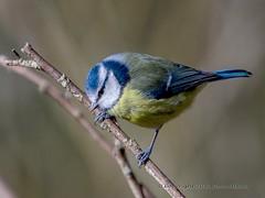 Blue Tit at Nene Park 07/02/16 (johnatkins2008) Tags: camera woodland woods birdwatching ferrymeadows gardenbirds wildbirds bluetits nenepark woodlandbirds birdphotography canonphotography eos7d johnatkins2008