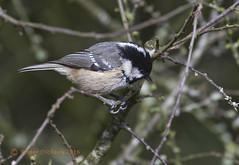 Coal tit 20 (Roger Dickens) Tags: warwickshire earlswood coaltit parusater gardenbird pentax300mm pentaxkr countryhide