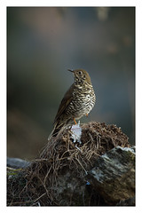 Plain backed Thrush /Himalayan forest thrush (viwake) Tags: negi uttarakhand