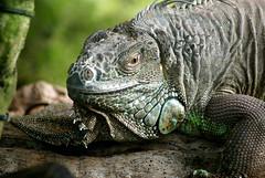 Iguana portrait (Jaedde & Sis) Tags: portrait reptile iguanaiguana unanimous friendlychallenges thechallengefactory grønleguan